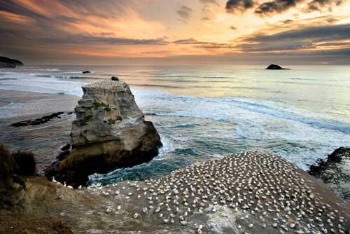 Muriwai Beach Gannet Colony Auckland, New Zealand